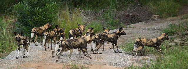 800px-wild_dog_kruger_national_park_south_africa
